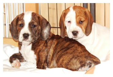 bully-basset-pups2