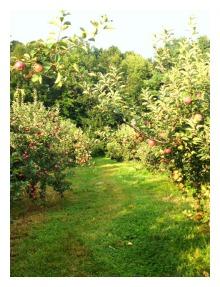 apples-1